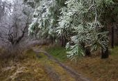 picture of pine-needle  - Icy forest. Pine needle covered by ice.