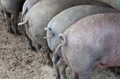 image of farrow  - Black Iberian pigs running free - JPG