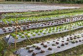 pic of iceberg lettuce  - frillice iceberg red oak lettuce and other vegetable growing in the organic cultivated land - JPG