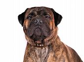 foto of bull-mastiff  - Portrait of a serious adult bull mastiff - JPG