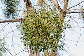 pic of significant  - Viscum album or mistletoe is a hemiparasite on several species of trees it has a significant role in European mythology legends and customs - JPG