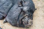 picture of pig  - pig sleeping black pig closeup portrait - JPG