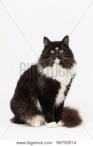 Black And White Siberian Cat
