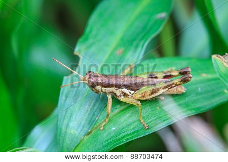 Grasshopper perching on a leaf