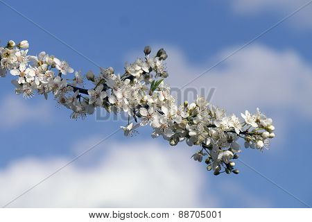 Appple Tree Blossom