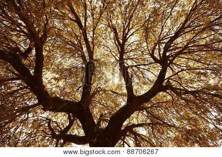 Oak Holm Branches And Leaves In Warm Tone, Spain