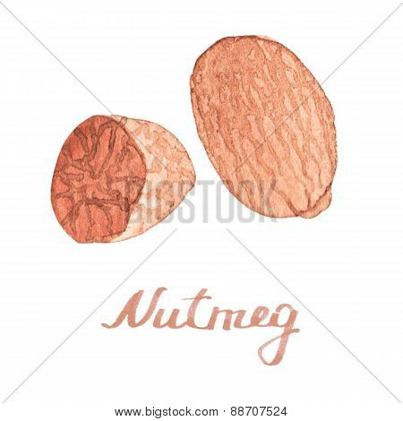 Watercolor nutmeg on the white background, aquarelle.  Vector illustration.