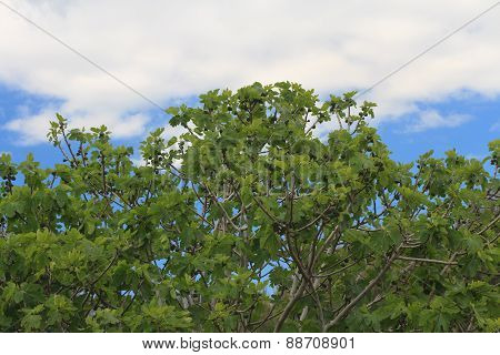 Fig Tree With Fruits On Blue Sky Background