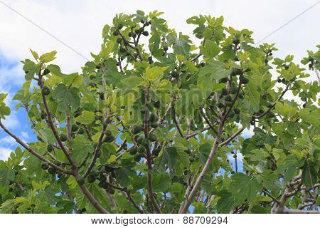 Harvest Figs Tree On Blue Sky Background