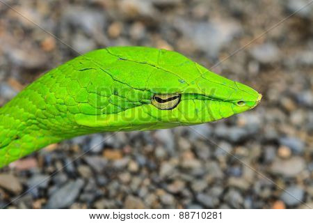 Oriental Whipsnake or Asian Vine Snake