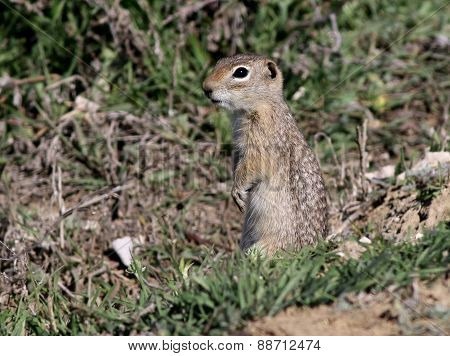 Washington Ground Squirrel - Urocitellus washingtoni
