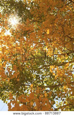 Aspen Trees.