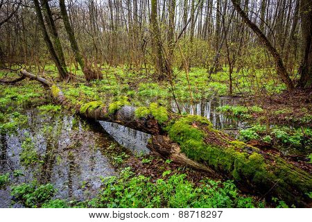 Mash in deep forest at spring time