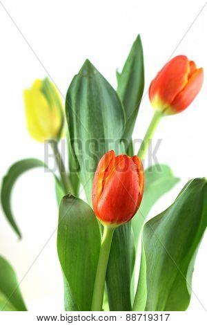 Fresh Tulip flowers against white background