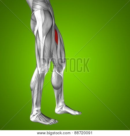 Concept or conceptual 3D adductor longus human upper leg anatomy or anatomical and muscle on green gradient background