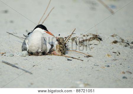 Common Terns