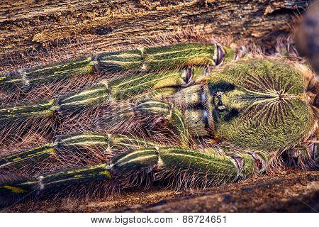 Tarantula Poecilotheria Rufilata