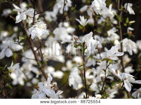 Blooming White Magnolia Flowers. Tulipe Tree