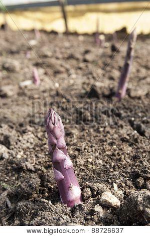 A Field Of Asparagus