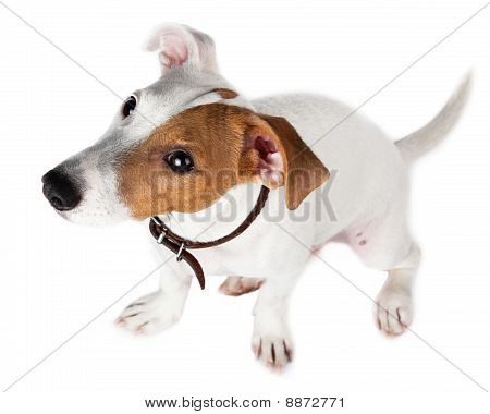 Jack Russell Terrier, Puppy
