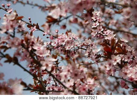Beautiful Flowering Cherry Tree Springtime As A Sukura Background