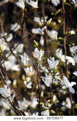 Blooming White Magnolia Flowers