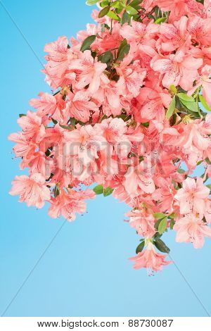 Branch Heavy With  Azalea Blooms