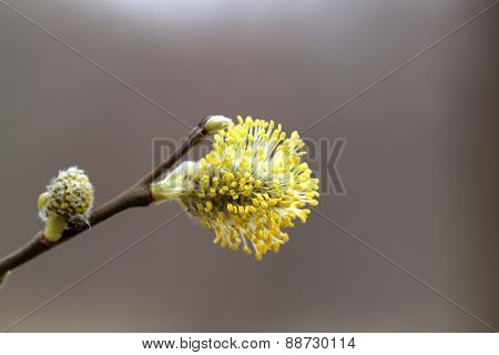 Yellow Willow Buds In The Park