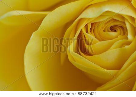 close up of yellow rose petals
