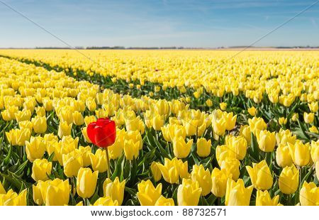 Striking Red Blooming Tulip Among Lots Of Yellow Tulips