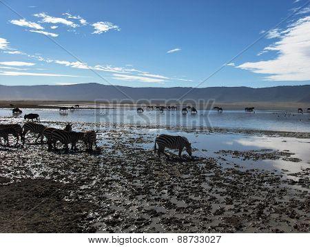 Zebras in a Desert Water Hole