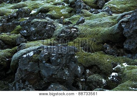 Closeup Of Resistant Moss On Volcanic Rocks In Iceland