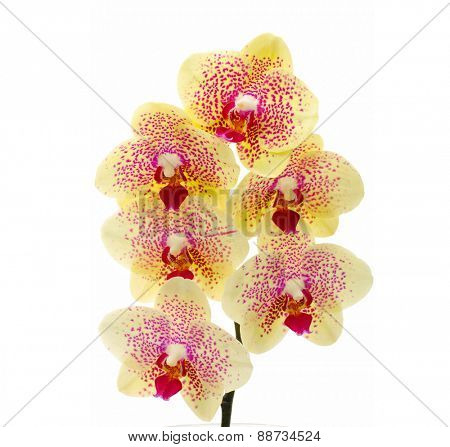 Close up of a yellow orchid - isolated on white - high key image