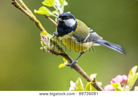 Great Tit Feeding Young