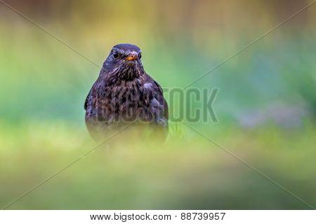 Female Common Blackbird Looking