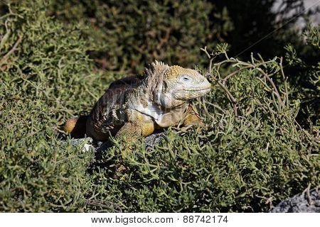 Iguana terrestre Galapagos