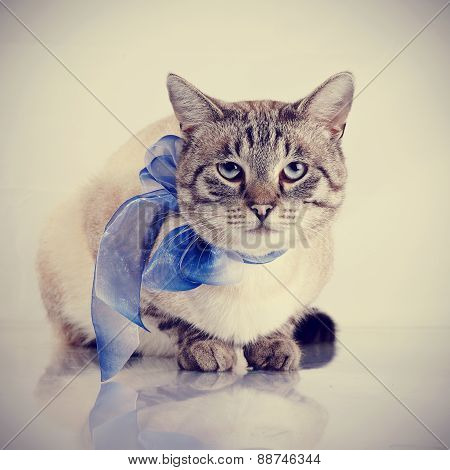 Striped Domestic Cat With A Blue Tape.