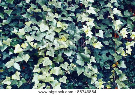 Background Of Green Ivy Leaves
