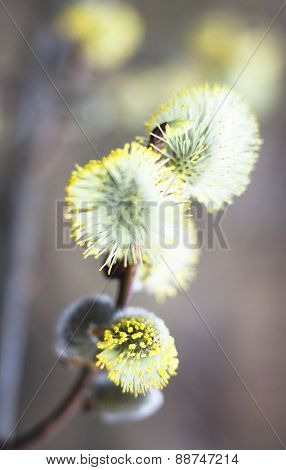 Flowering Catkins Of A Willow