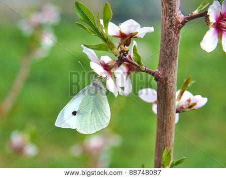 Butterfly on an almond tree flower