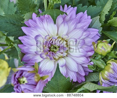 violet Dahlia flower close up
