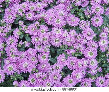 pink Chrysanthemum flowers close up
