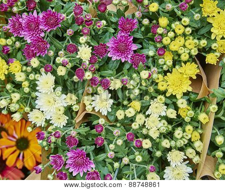 variety of colorful Chrysanthemums