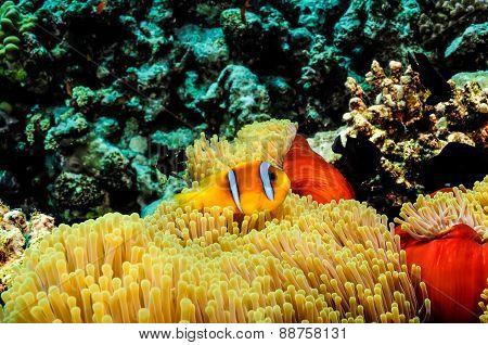 Clow Fish III