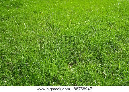 Green Grass Growing From A Spring Lawn