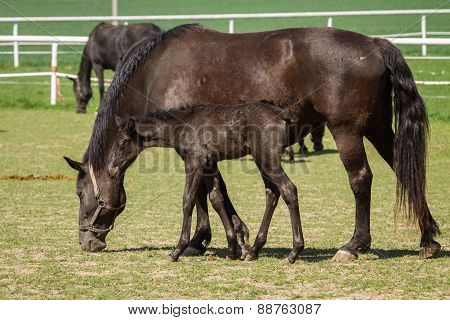 Old Kladrub Black Horse Mare With Foal