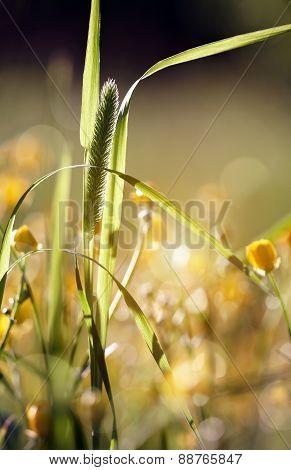 Wild Grass - Timothy-grass (phleum Pratense)