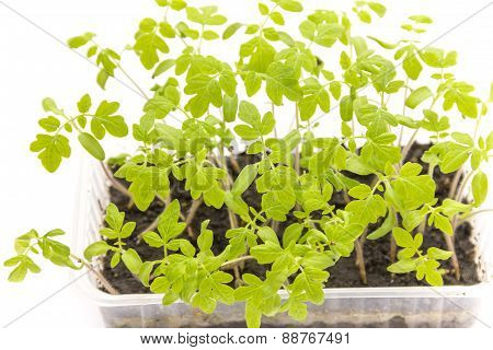 Tomato seedlings in a plastic container