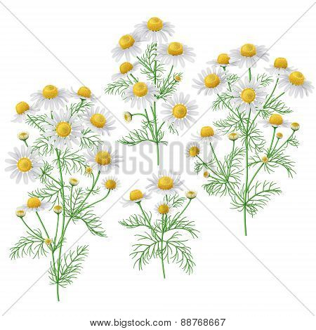 Wild Chamomile Bunches Set.