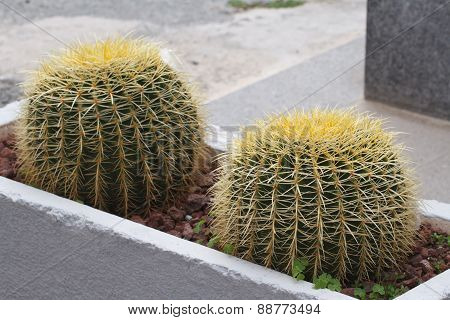 Golden Barrel Cactus In The Flower Bed Outside
